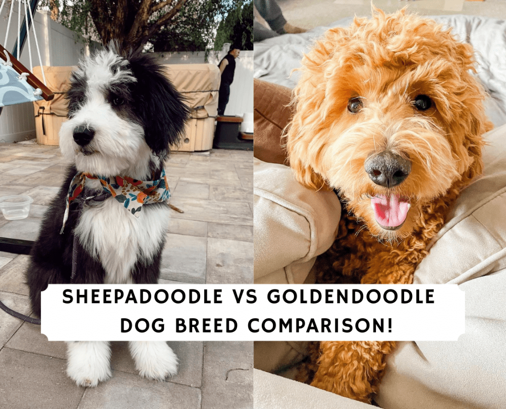 Sheepadoodle vs Goldendoodle