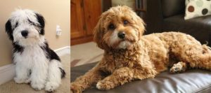Sheepadoodle vs Goldendoodle Appearance: What do They Look Like?