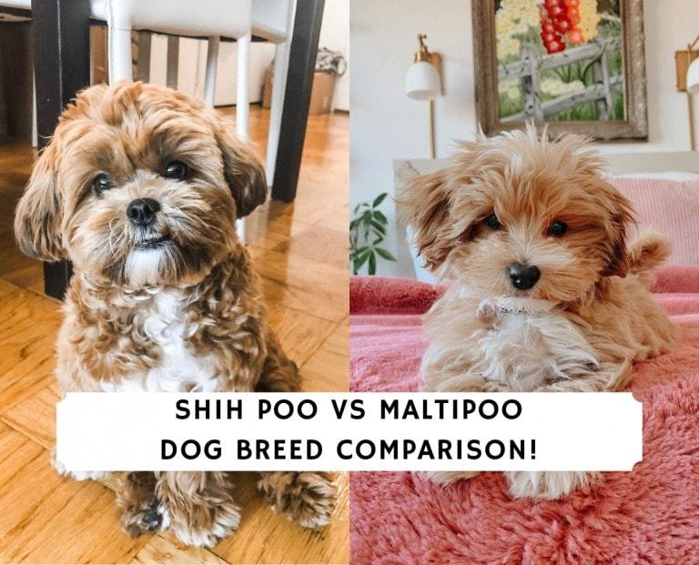 Shih Poo vs Maltipoo
