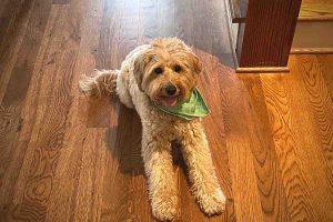Signs That Your Goldendoodle is Intelligent