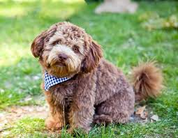Types of Schnoodle Coats