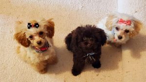 Tiny Toy Poodles of Danville VA
