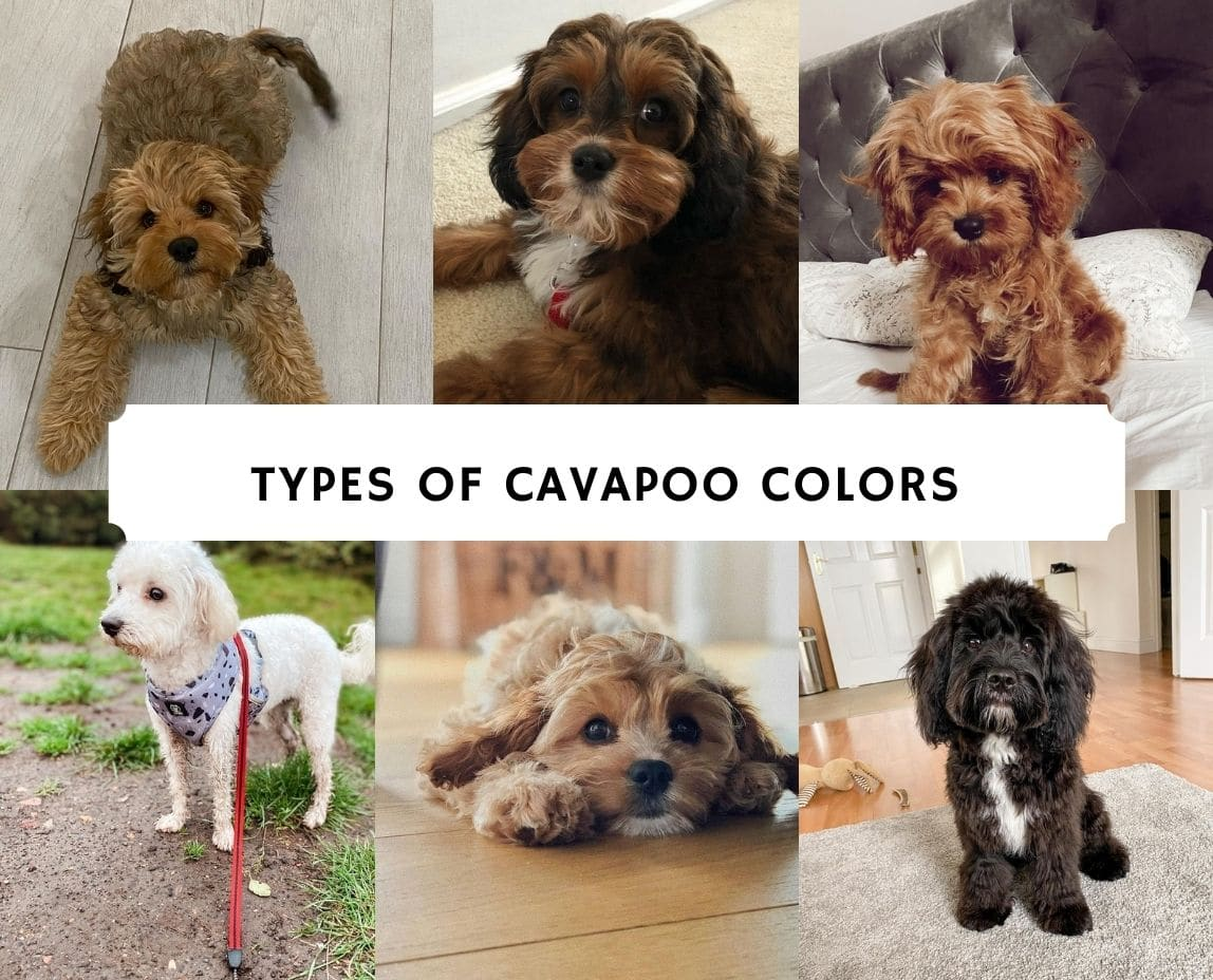 Types of Cavapoo Colors