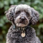 Types of Schnoodle Colors