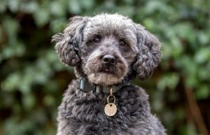 Schnoodle Personality & Temperament