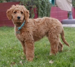 What is the Goldendoodle