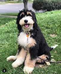 What is the Bernedoodle