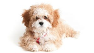 What is the Cavapoo
