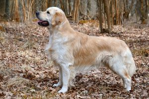 What is the Golden Retriever