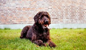 What is the Labradoodle
