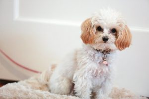 What is the Maltipoo