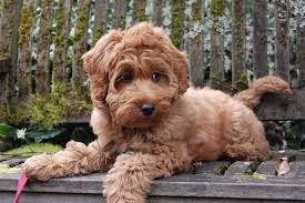 What is the Mini Labradoodle