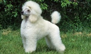 What is the Poodle