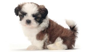 What is the Shih Tzu