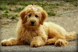 When Is A Labradoodle Full Grown