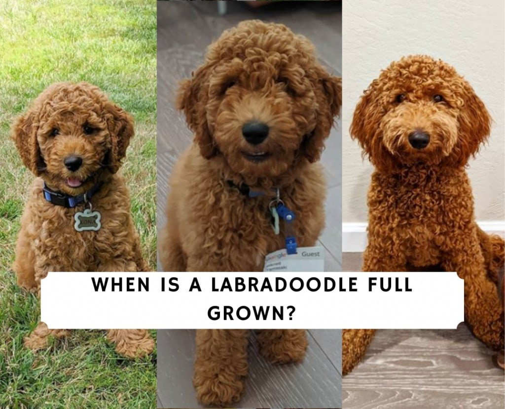 When is a Labradoodle Full Grown_