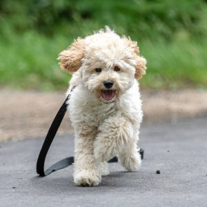 Where to Buy a Maltipoo