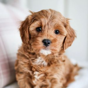 Where to Buy or Adopt a Cavapoo