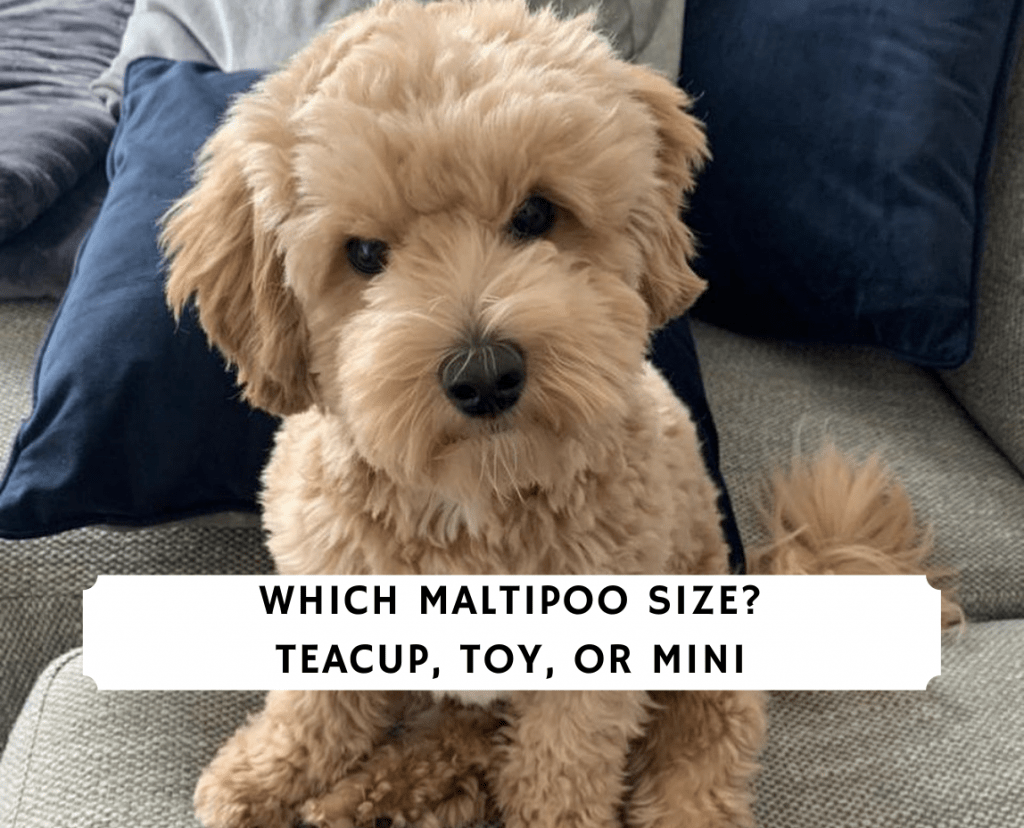 Which Maltipoo Size_ Teacup, Toy, or Mini
