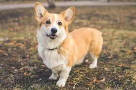 Why Do People Put Corgis Up For Adoption
