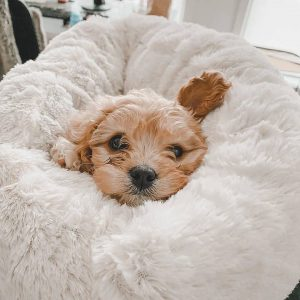 cavapoo puppies on the east coast