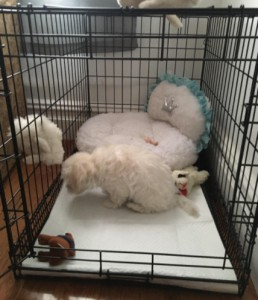 crate for mini labradoodle