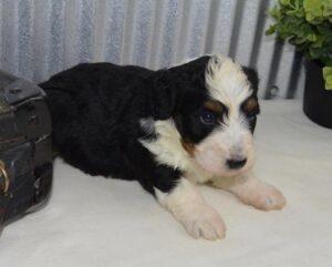 Creekside puppy adoptions mini bernedoodle