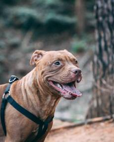 COMMON QUESTIONS ABOUT PITBULLS