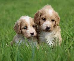 Why Adoption a Cavapoo in North Carolina?