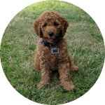 kona-goldendoodle-we-love-doodles