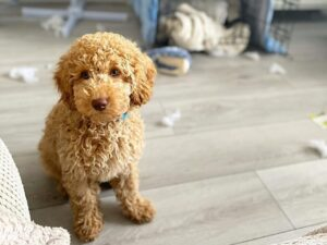 puppyspot mini labradoodles