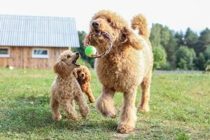 More Information About the Poodle