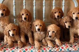 Aglow Standard Poodles