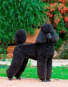 Ardent Poodles