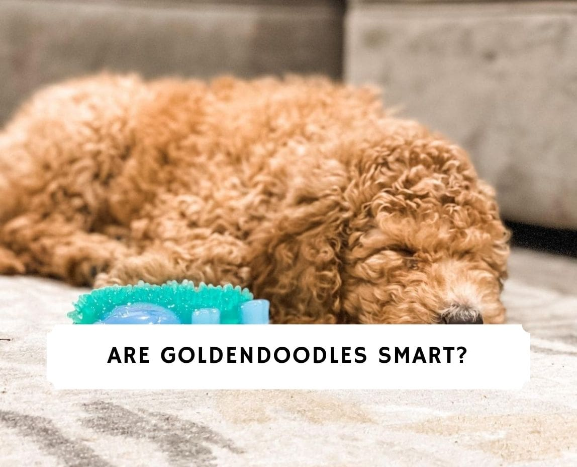 Are Goldendoodles Smart
