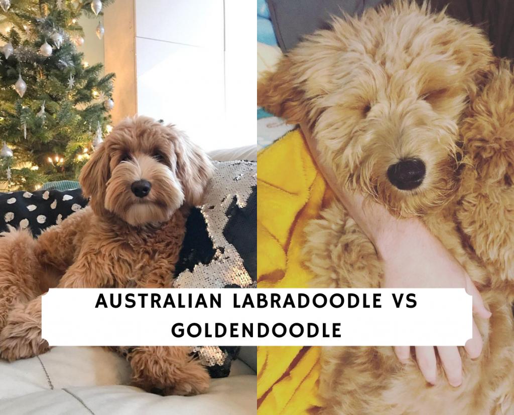 Australian Labradoodle vs Goldendoodle