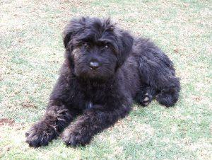 Beauvoir Poodles