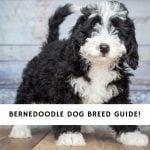 Bernedoodle Dog Breed Information
