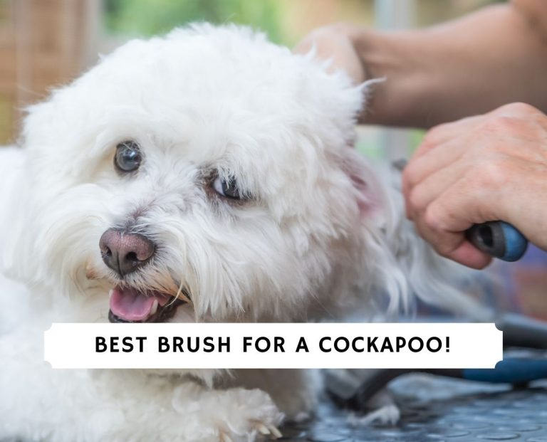 Best Brush for a Cockapoo