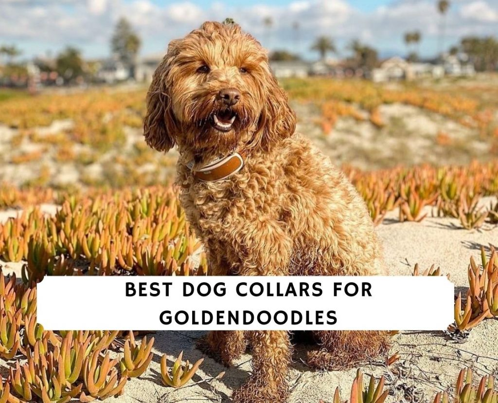 Best Dog Collars for Goldendoodles