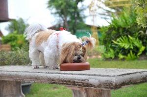 Shih Tzu Dog Food Allergies