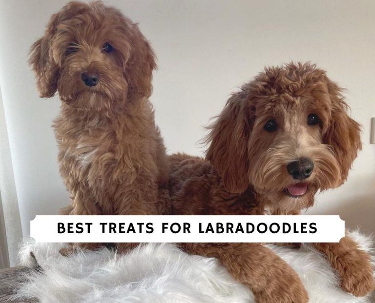Best Treats for Labradoodles