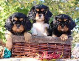 Black Powder Farm Little Dogs
