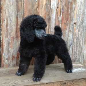 Blue Willow Standard Poodles