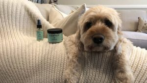 CBD Can Help Your Goldendoodle