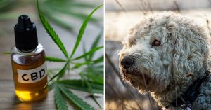 CBD Oil for Your Goldendoodle