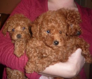 Poodle Breeders in Michigan