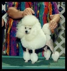 Callimont Poodles