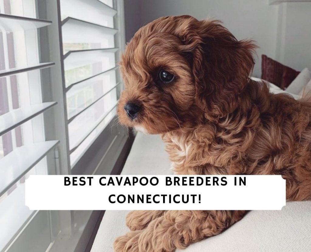 Cavapoo Breeders in Connecticut