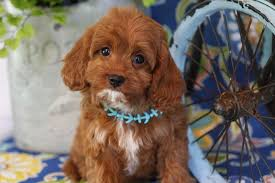 Cavapoo puppies for sale Connecticut